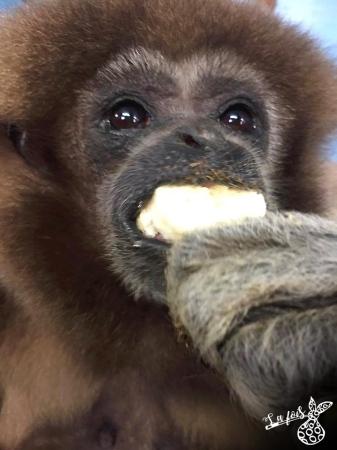 Honey la femme gibbon